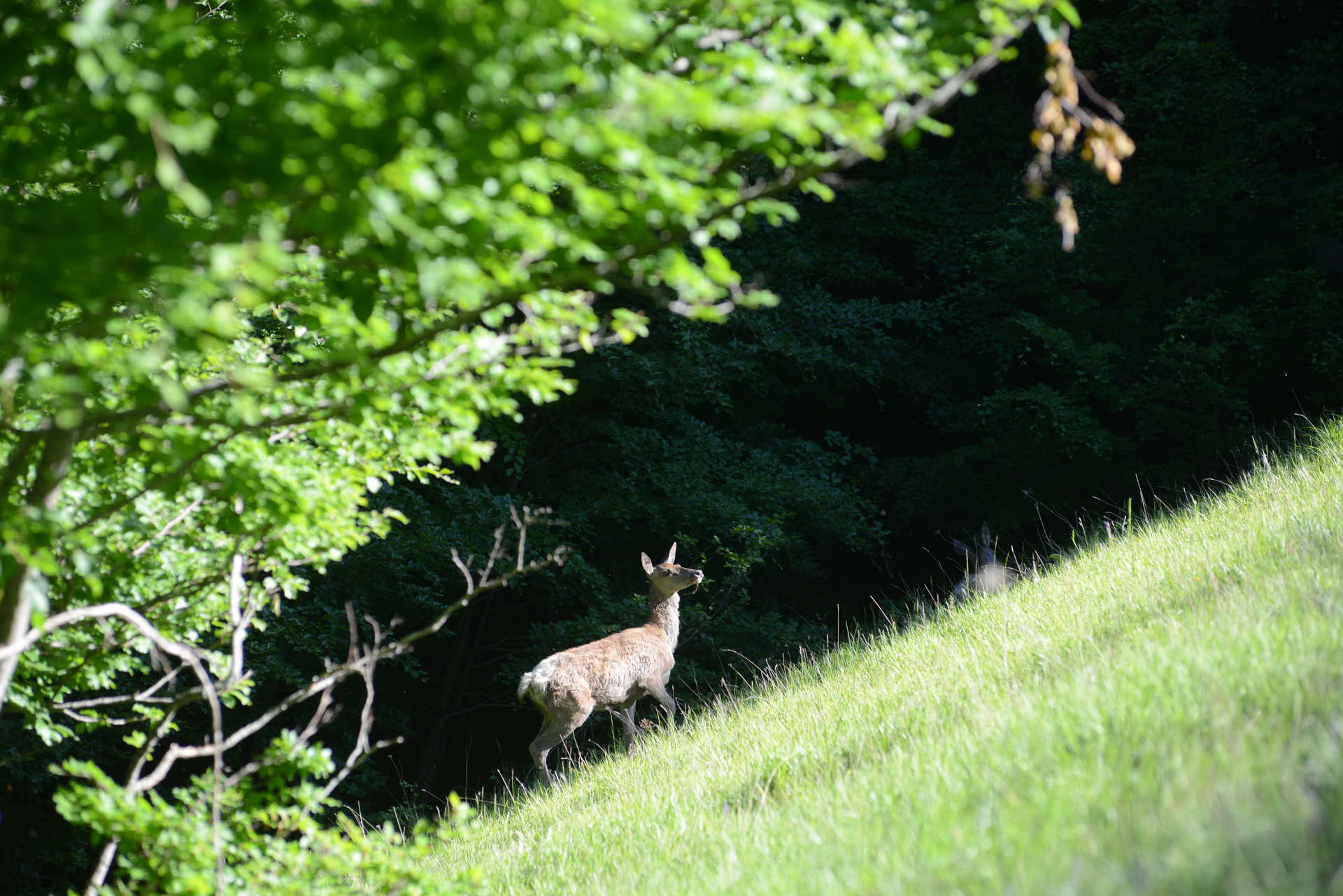 Red deer at Val di Rose