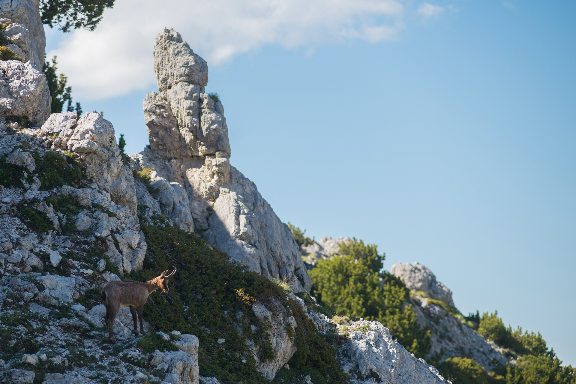 Abruzzi chamois in its habitat made of limestone columns
