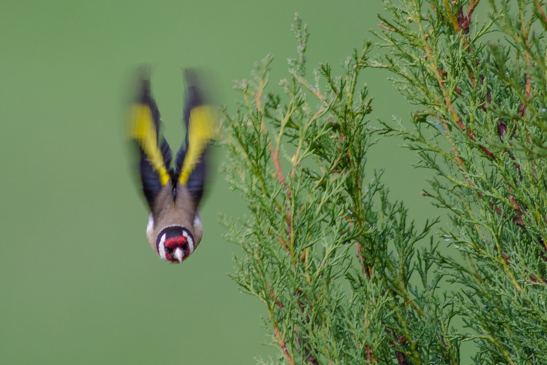 European goldfinch(Distelfink)