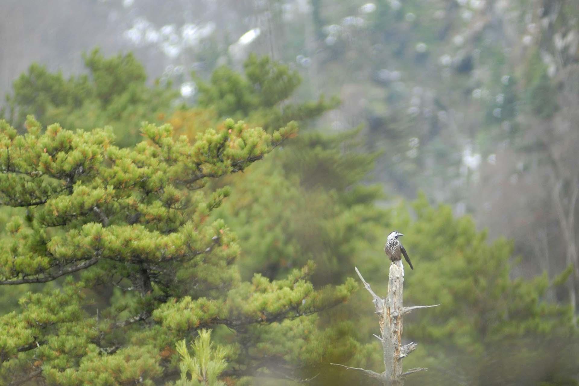 Bekannter von Zuhause: Tannenhäher (Nucifraga caryocatactes, nutcrack)