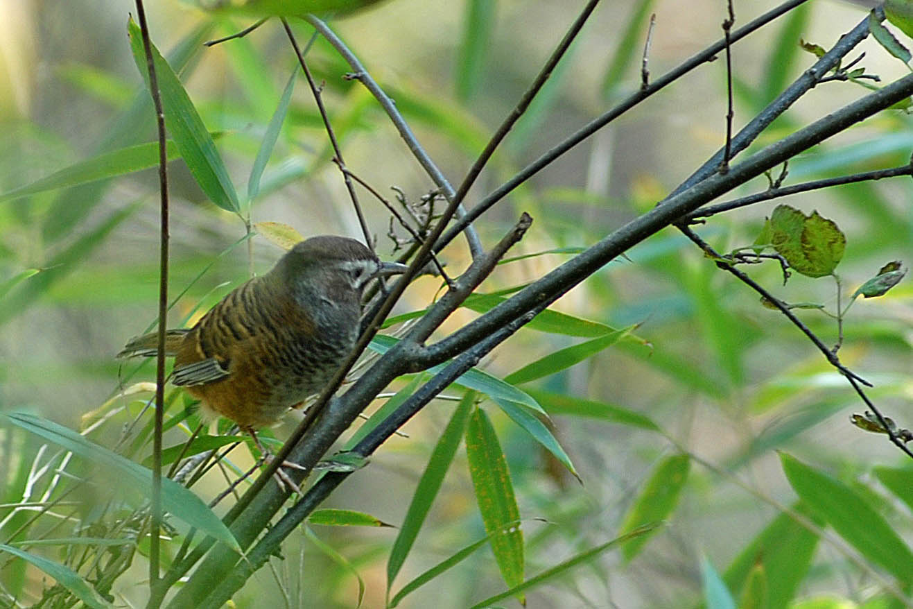 Barred Laughingthrush, HŠaeherling
