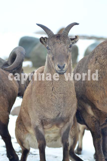 Capra_cylindricornis_002