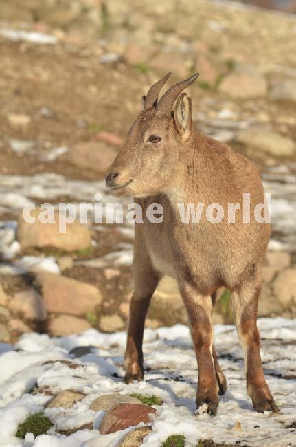 Capra_cylindricornis_003
