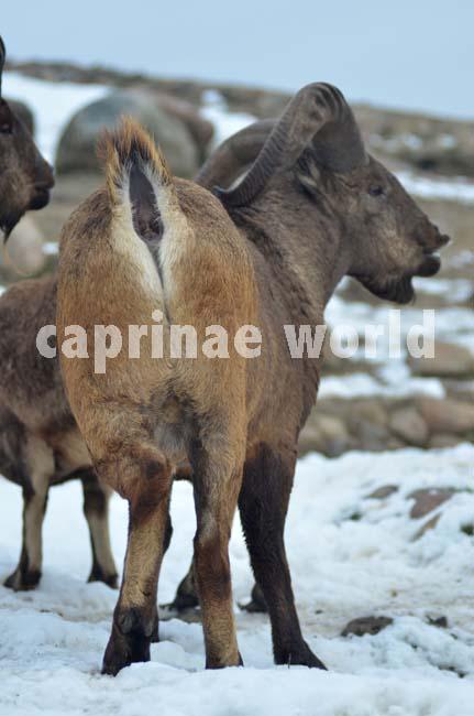 Capra_cylindricornis_004
