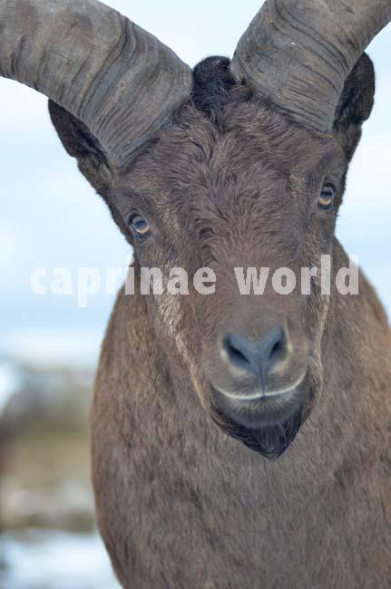 Capra_cylindricornis_005