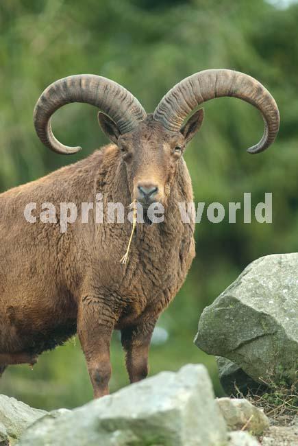 Capra_cylindricornis_006