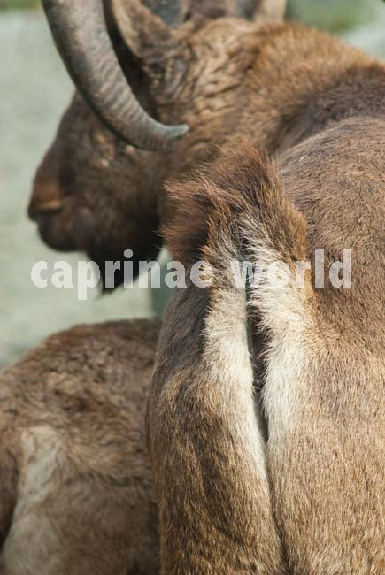Capra_cylindricornis_007