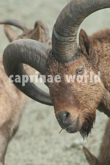 Capra_cylindricornis_008