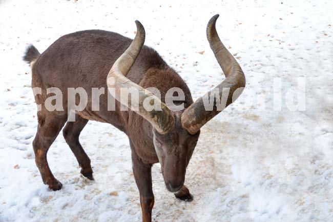 Capra_cylindricornis_012