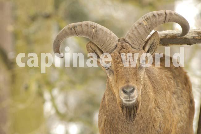 Capra_cylindricornis_017