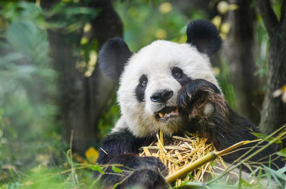 Panda_Wien_1b_b