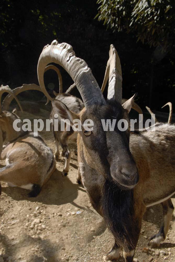 jagd mufflon españa
