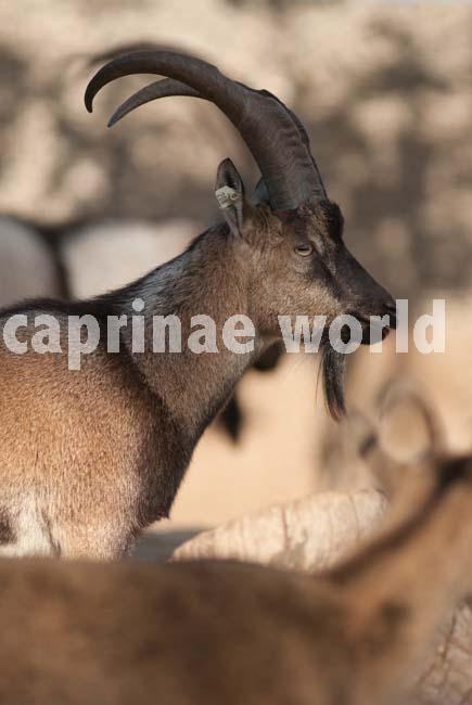 capra_genus_001