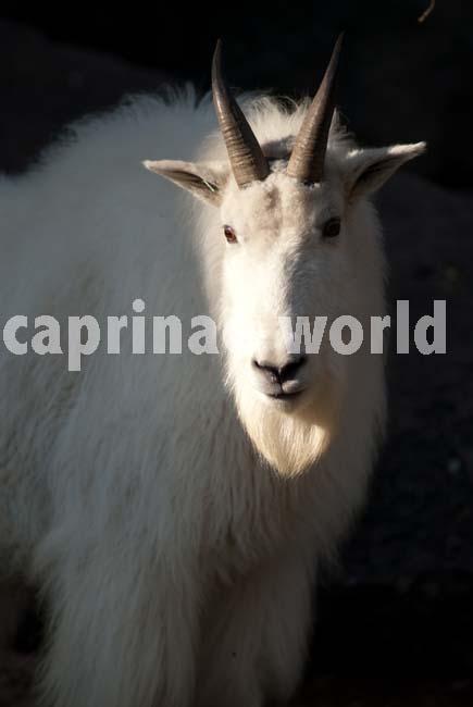 capra_genus_005