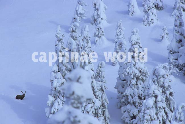 capra_ibex_006
