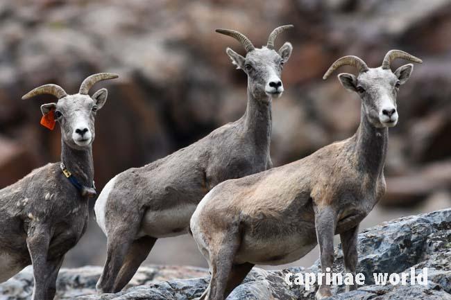 Sierra Nevada Bighorn Sheep Ovis Canadensis Sierrae Ralfs Wildlife And Wild Places